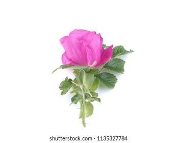 flower rosehip on white background