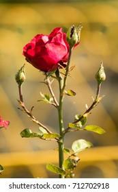 Flower roses landscape