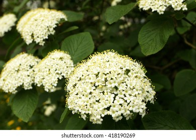 flower rowan flour - Sorbus aria; shallow depth of field