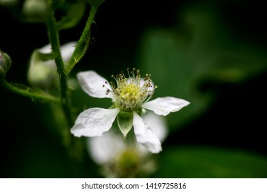 Flower Rubus occidentalis rosaceae family background high quality prints
