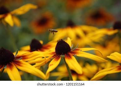 flower of rudbeckia and flying bee,  Kyivska oblast, Ukraine