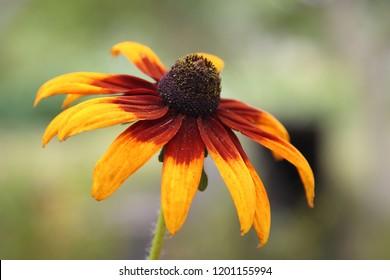 flower of rudbeckia,  Kyivska oblast, Ukraine