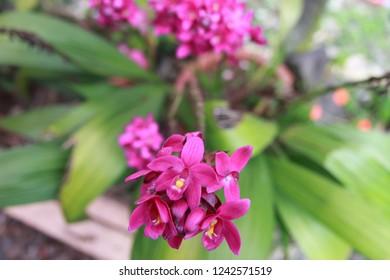 Flower of Sabah, Malaysia at Tambunan, Sabah, Malaysia on the 11/25/2018.