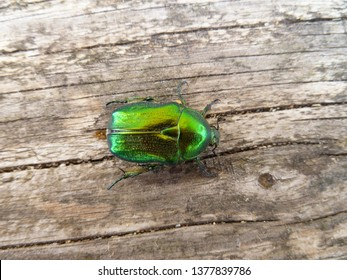 Flower Safer, rose chafer, leaf beetle, Chrysolina graminis. Shiny, emerald green metallic large beetle sitting on old wooden desk. Close-up of tansy beetle.