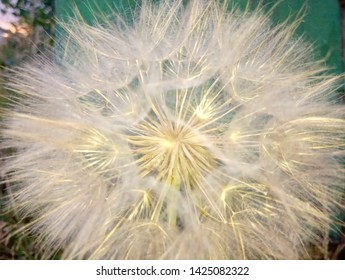 flower of salsify gleaming in gold on a green background close-up