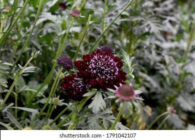 flower scabiosa beautiful in the farm