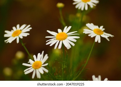 Flower of the scentless false mayweed  A pioneer in open spaces and a bee plant  Macro with details