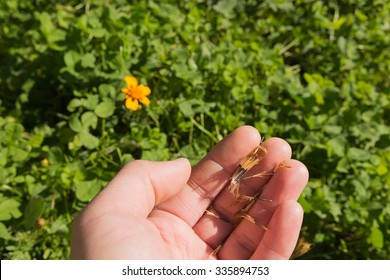 Flower and Seeds of Marigold