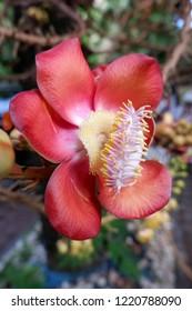 Flower, Shorea robusta.