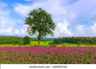 ฺbeautiful flower of Siam Tulip in the green field at Phu Ruea, Loei, Thailand.