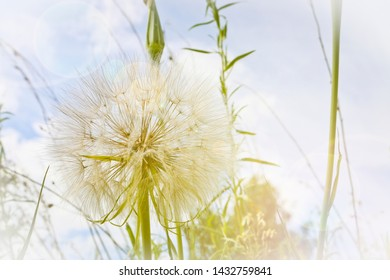 Flower similar to a dandelion - meadow Salsify (common names Jack-in bed-at-noon, meadow salsify, showy goat's-beard or meadow goat's-beard). Tragopogon pratensis