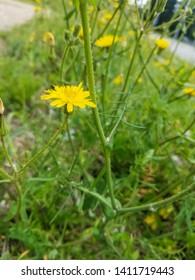 Flower of Slender sowthistle, Sonchus tenerrimus, growing in Galicia, Spain