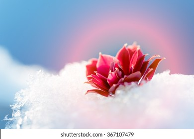 Flower in the snow, the symbol of love and passion