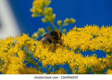 flower of Solidago commonly called goldenrods comes from North America including Mexico native to South America and Eurasiag