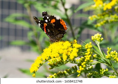 flower of Solidago commonly called goldenrods comes from North America including Mexico native to South America and Eurasia Butterfly Vanessa atalanta the red admiral or previously the red admirable