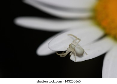 Flower spider on daisy. Macro