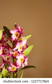 A flower spike of a Dendrobium Nobile against a plain background