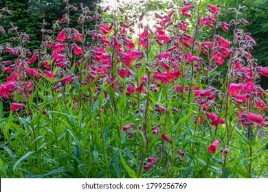 Flower spikes and foliage of Penstemon `'Schoenholzeri', beard-tongue (Penstemon hartwegii 'Firebird'), in English cottage garden, with dark green conifer hedge behind. Backlit by warm evening sun.