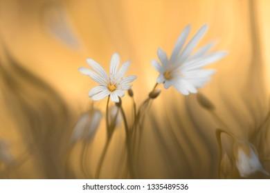 Flower in spring - addersmeat (Stellaria)