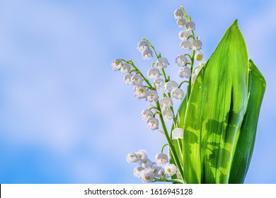 Flower Spring Lily of the Valley Background Horizontal. Natural nature background with blooming beautiful flowers lilies of the valley lilies-of-the-valley. Lily of the valley.