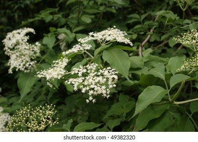 In flower standing elderberries (Sambucus)