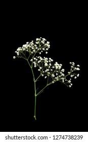 A flower stem of Baby's Breath