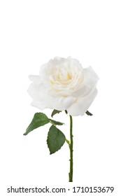 Flower Stem on White Background