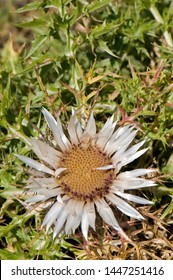 Flower of stemless carline thistle