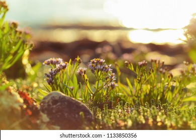 Flower and stones at the Trondheim fjord coast during summer sunset