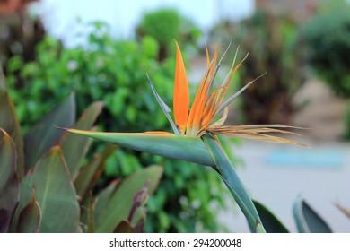 Flower Strelitzia - bird of paradise