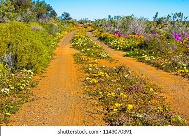 Flower strewn gravel road in Tankwa Karoo