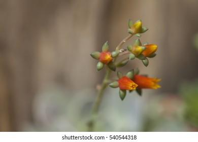 Flower of succulent on dark background.