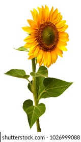 Flower of sunflower behind isolated on white background. Seeds and oil. Flat lay, top view. Creative concept of agriculture, harvest