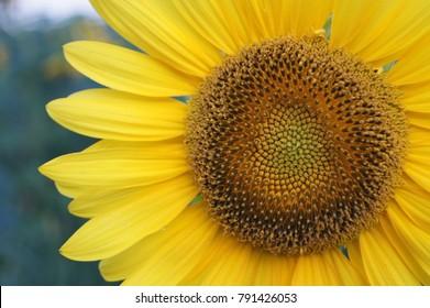 Flower of sunflower close-up.