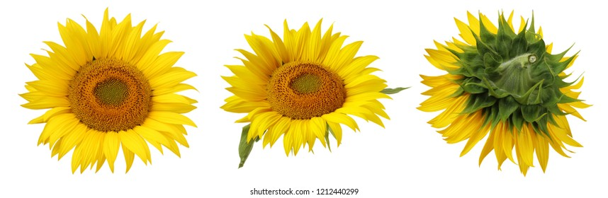 flower of sunflower close-up, isolated on white background. top view.