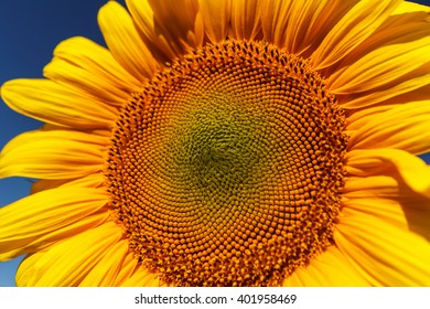 Flower of sunflower closeup on a background of blue sky