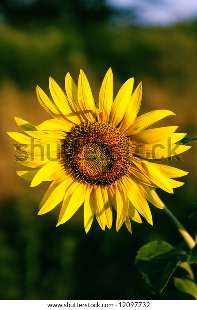 Flower of sunflower early in the morning