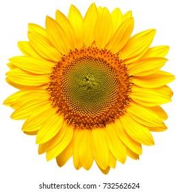 Imagens Fotos Stock E Imagens Vetoriais De Sunflower Shutterstock