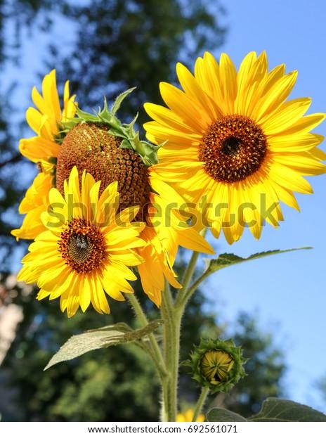 Flower sunflower nature landscape