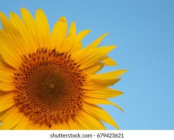 flower of sunflower on background of blue sky