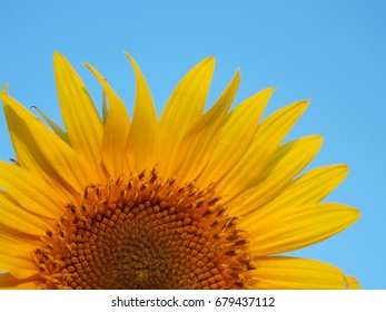 flower of sunflower on background of blue sky