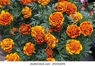 flower tageste,Tagetes patula, spring, background, flowers, flower, nature, floral, garden, summer, beautiful, landscape, pink, blossom, white, tree, green, sun, field, season, beauty, natural, plant,