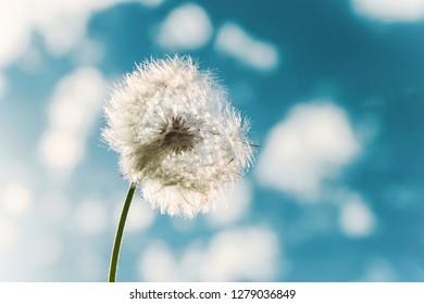 Flower - Taraxacum Officinale - Shutterstock ID 1279036849