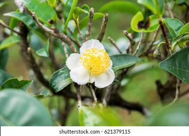 Flower of tea plant (Camellia sinensis)