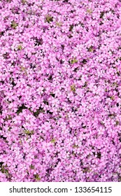 Flower texture of ground cover phlox subulate