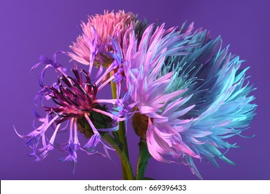Flower with thin petals on a purple background. Abstract floral composition. neon lights.