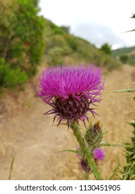 flower of the thistle
