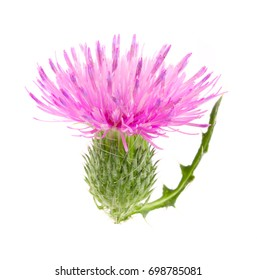 Flower thistle isolated on white background macro