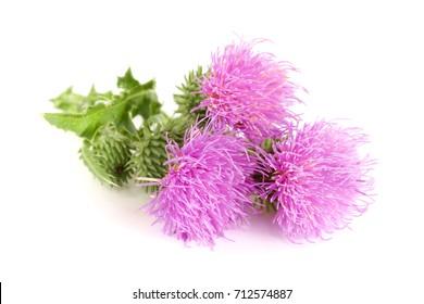 Flower thistle isolated on white background macro