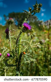 Flower thistle and ladybug on blue sky background
